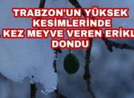 Trabzon Araklı İlçesi Yüksek Kesimlerindeki Erikler Dondu